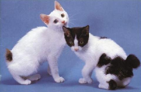 短尾猫是拂晓的动物,主要于黎明及黄昏时出没.