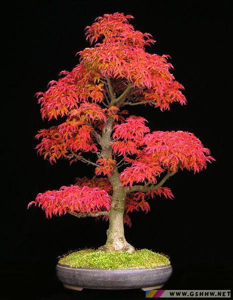 盆景 盆栽 植物 467_600