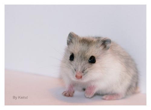 黑白毛围巾长颈鹿仓鼠图片