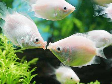 接吻鱼为什么会接吻_接吻鱼(热带观赏鱼类) - 搜狗百科