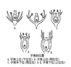 蚕豆成长过程简笔画