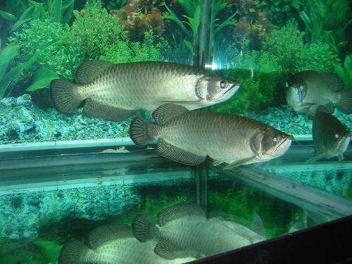 星点龙鱼图片_星点龙鱼_澳洲龙鱼_观赏鱼之家h7Og3_淡定