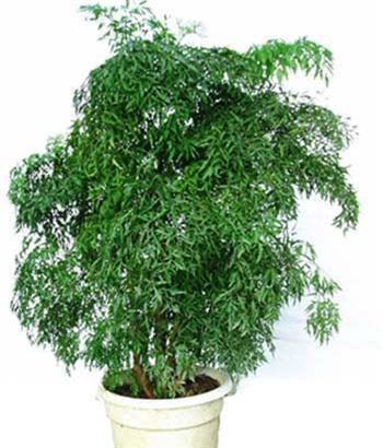 种名:福禄桐; 幸福树; 福禄桐 幸福树(两杆) 单杆发财树
