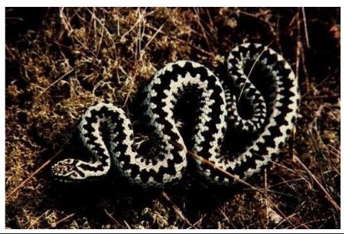 """,皮肤病 1.蛇串疮 2.   虎斑游蛇只有头颈部分是红黑色   中有:""""斑蝥图片"""