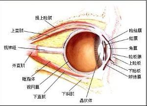 眼结构图-眼睑