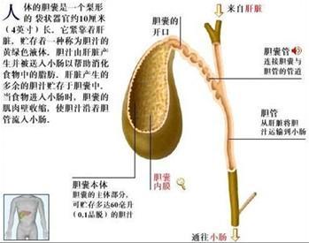 胆囊解剖图
