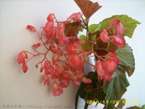 竹节秋海棠因其茎干似竹而得名
