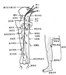 大腿神经分布图_坐骨神经 - 搜狗百科