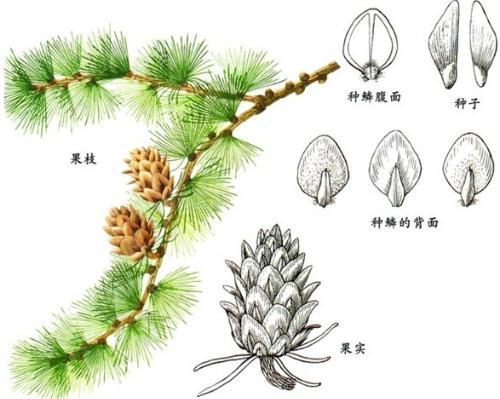 松果壳手工制作装饰