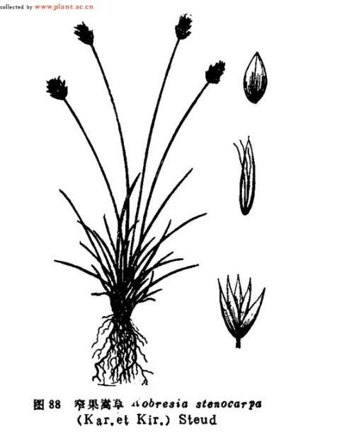 窄果嵩草分布于甘肃