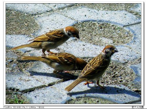 非州野生动物禾雀