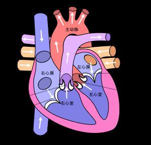 心脏的卡通图片