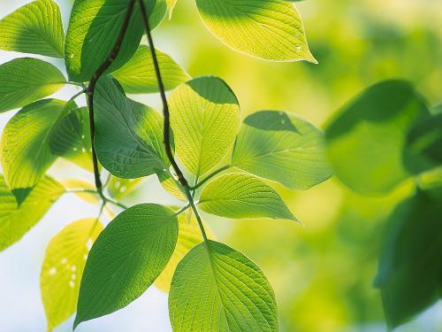 背景 壁纸 绿色 绿叶 树叶 植物 桌面 500_375