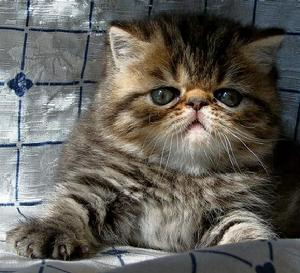 大体上:理想的异国短毛猫首要印象是结实的骨骼,柔和甜美的神情