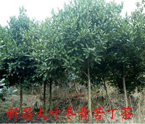 大叶冬青苦丁茶绿化树