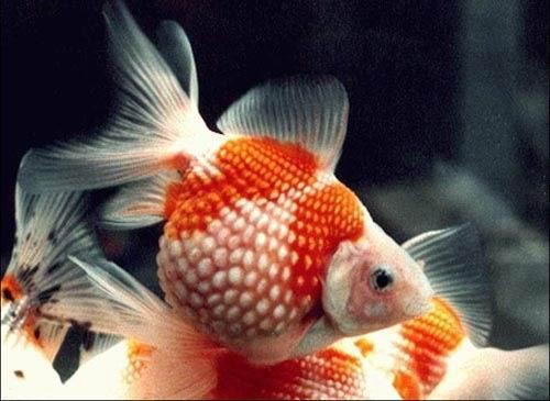 橙色凤尾珍珠