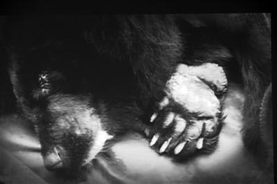 亚洲动物基金驳中药协:被无管术取胆的熊99%患胆囊炎