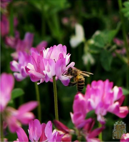 红花菜 ,药材名称,是豆科植物紫云英的全草,清热解毒,专治风痰咳嗽