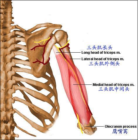 二头肌解剖图片_肱二头肌长头腱鞘炎_肱二头肌长头 ...