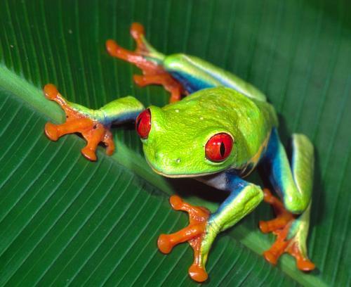 树蛙的可爱简笔画