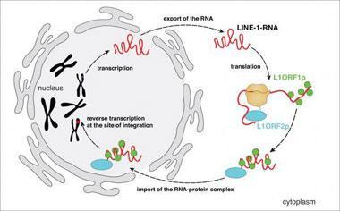 有时蛋白质的空间结构只有轻微变化即可引起生物活性