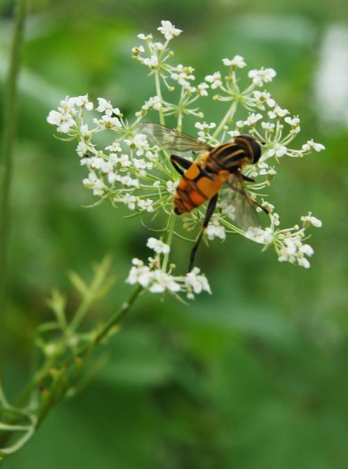 果蝇减数分裂图解