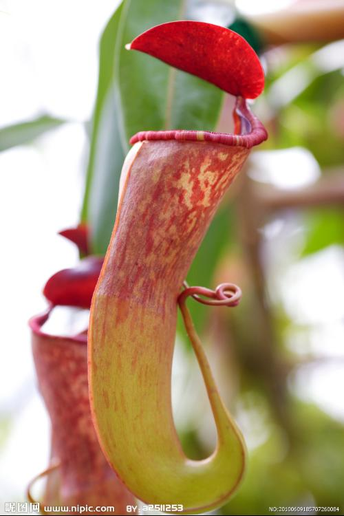 简笔画猪笼草的画法; 属于热带食虫植物
