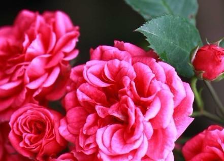 蔬果将会在1月至3月期间成熟,届时游客采摘之后,就可以带到附近的玫瑰