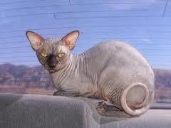 无毛的原因; 加拿大无毛猫——斯芬克斯猫; 纹身 斯芬克斯-1.