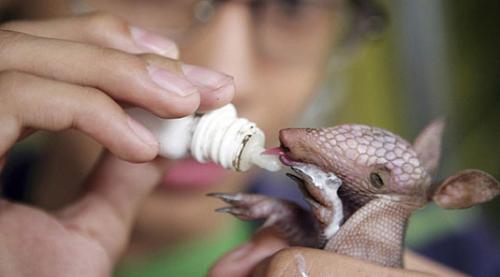 致力于回复犰狳和其他濒危动物的自然栖息地