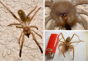 骆驼蜘蛛 - 搜搜百科