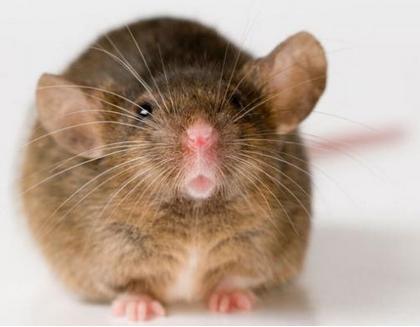 世界上最可爱的老鼠