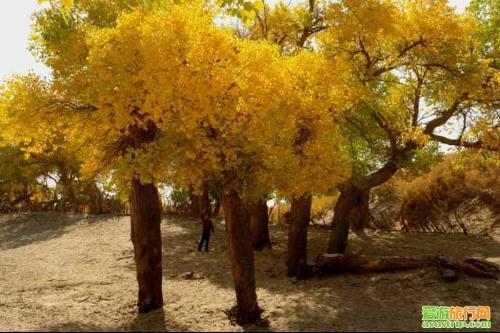 和《水经注》都记载着塔里木盆地有胡桐(梧桐),也就是胡杨.