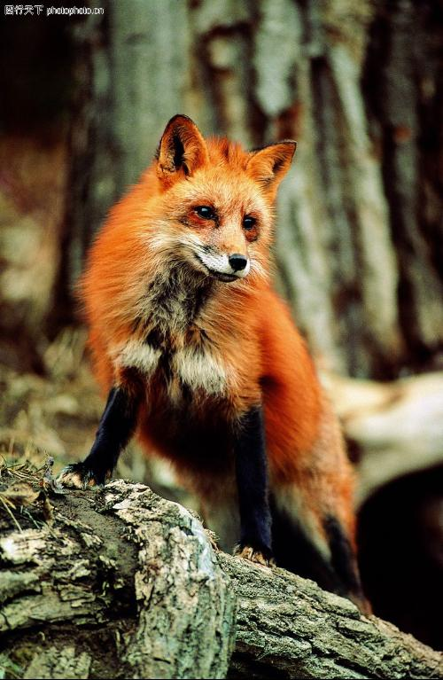 壁纸 动物 狐狸 灵长目 桌面 500_767 竖版 竖屏 手机