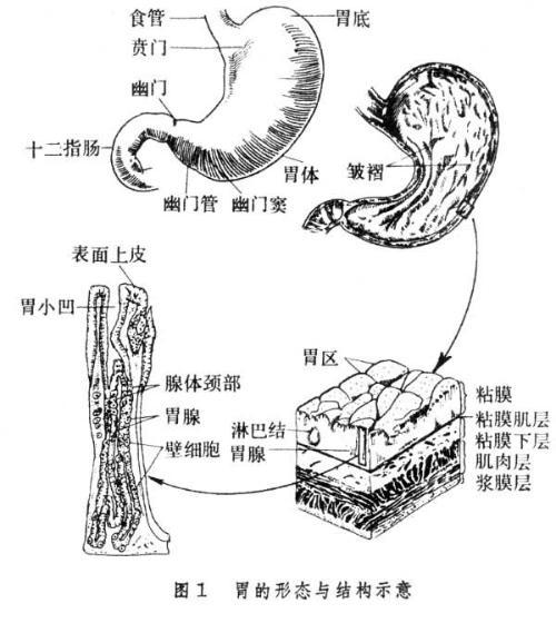 弯,凹向右上方,胃小弯近幽门处有一个切迹,叫角切迹,是溃疡和肿瘤的