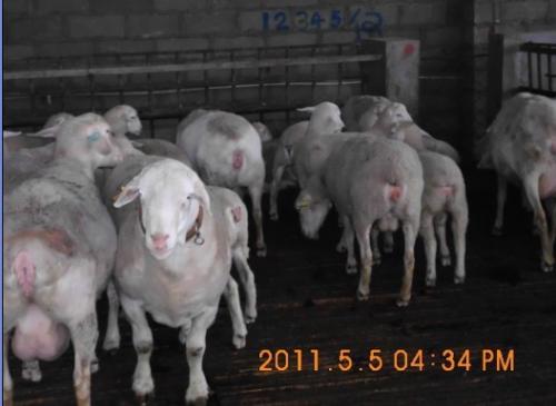 绵羊猪图片大全可爱