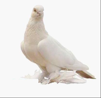 动物 鸽 鸽子 鸟 鸟类 420_407