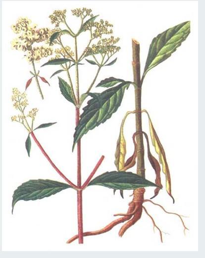 糙叶斑鸠菊
