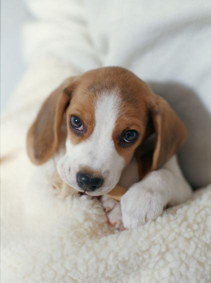 色狗美利坚_毛质和毛色:浓密生长的短硬毛,毛色有白,黑及肝色的猎犬色,也有白茶色