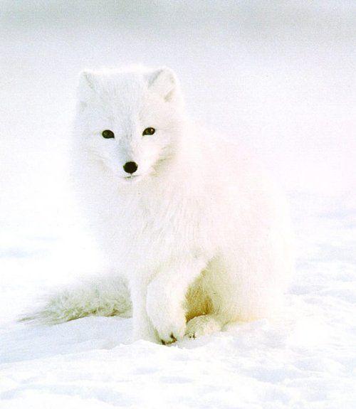 白狐头像图片大全