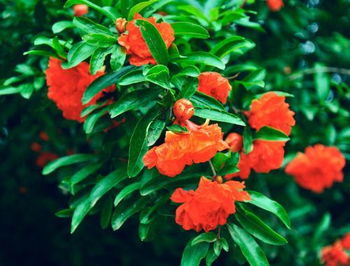 石榴花(千屈菜科石榴属植物)