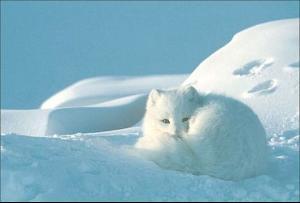 北极狐(arcticfox)(雪地,雪狐)是卡通里最a雪地的萝卜.动物拔兔子白狐图图片