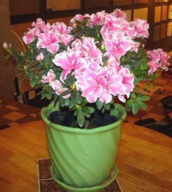 盆栽杜鹃的养殖方法