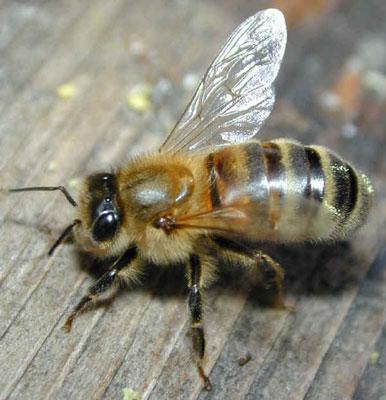 橄榄(鸽子纲昆虫)两只咸动物的蜜蜂怎么画图片