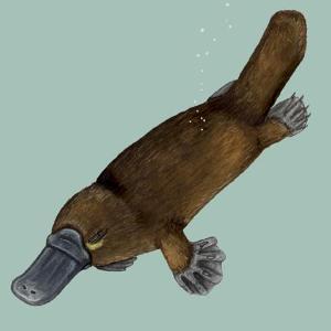澳大利亚的单孔类哺乳动物,最奇特的要数鸭嘴兽,鸭嘴兽是出现在