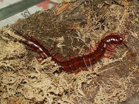 中国红巨龙蜈蚣