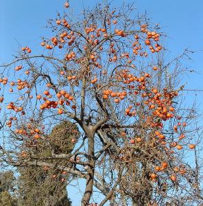 幼儿园手工秋天柿子