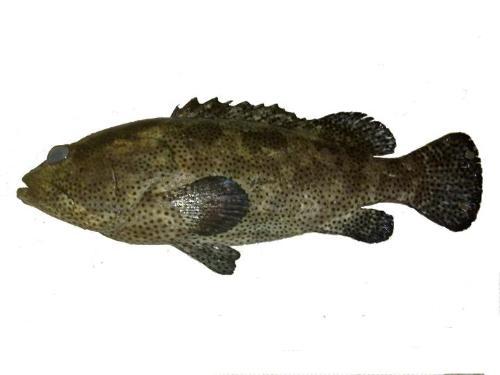 淡水石斑鱼-+搜搜百科