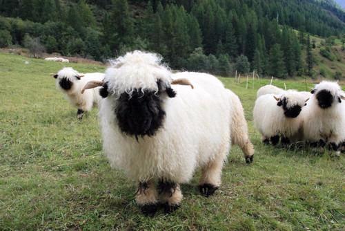 真实羊图片大全可爱