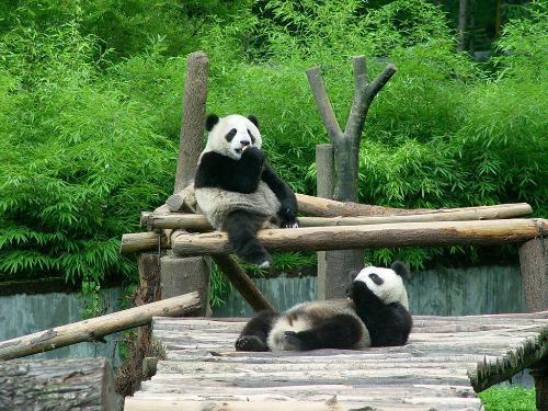 大熊猫(哺乳动物) - 搜狗百科